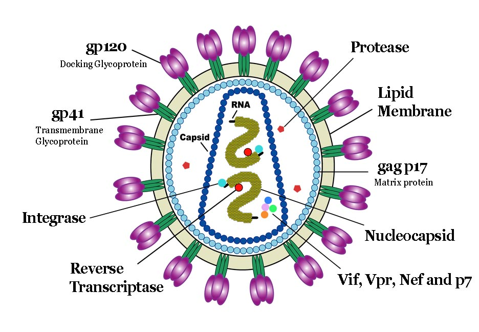 Hiv Diagram Labeled Trusted Wiring Diagram